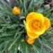 Crocus jaune