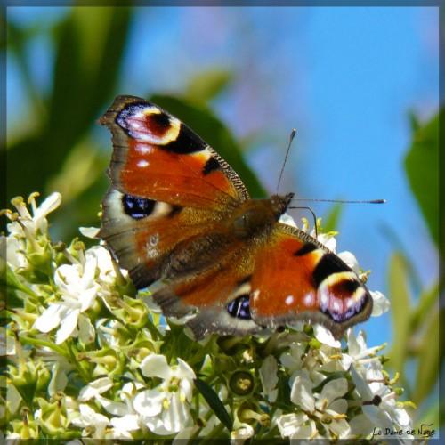 papillon1_12_09_09.jpg